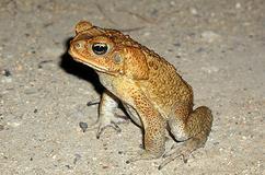 特定外来生物に指定されているオオヒキガエル=提供・環境省石垣自然保護官事務所
