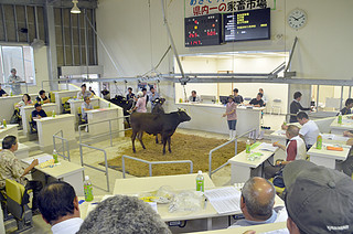 前回に続いて高値を付けた黒島家畜市場の9月のセリ=13日午前、黒島家畜市場