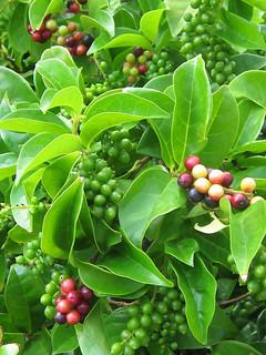 赤く熟したヤモミの実。自然界に秋の訪れを告げている=29日、石垣市登野城