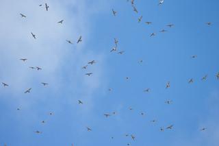 上昇気流に乗り、秋空高く舞い上がるサシバの群れ=14日午後3時半ごろ、バンナ岳渡り鳥観察所