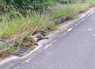 死んだヤマネコが横たわる=20日午前、西表島美田良の県道、環境省西表自然保護官事務所提供