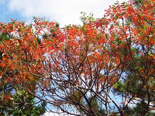 秋の深まりとともに、紅葉を迎えたハゼノキ=30日午後、石垣市川平