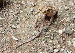 石垣市内で撮影されたオオヒキガエルがサキシマバイカダとみられるヘビを丸のみにしようとしている写真