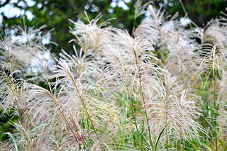 自然界はすっかり冬景色。ススキの穂が満開している=バンナ公園