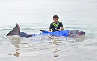 迷い込んだクジラを数時間にわたって介抱する高橋謙一さん=2日午前、川平底地ビーチ付近の浅瀬
