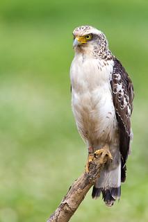 国指定の特別天然記念物カンムリワシの幼鳥
