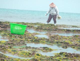 アーサを収穫する住民。最盛期はまだ先=16日、黒島北海岸
