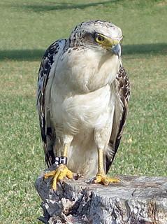 カンムリワシの幼鳥=環境省石垣・西表自然保護官事務所提供