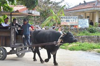 公民館や住民の会が設置した水牛車観光事業所の早期移転を求める看板の前を通過する水牛車=20日午後、竹富保育所前