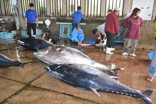 八重山漁協に水揚げされる本マグロ=2013年4月25日=。マグロ漁本格化を前に日台間のルールづくりが求められている