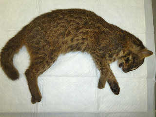 車にひかれ、死んだイリオモテヤマネコの幼獣(提供・環境省西表野生生物保護センター)