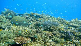 さまざまな種類のサンゴが生息する名蔵湾(八重山ダイビング協会提供写真)