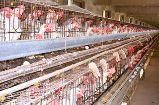 郡内で飼育されている鶏。熊本県多良木町での鳥インフル発生で、八重山家保など関係機関が警戒を強めている=14日午前、石垣市内