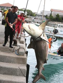登野城漁港に揚げられた体長約3㍍のオオメジロザメ=21日午前、登野城漁港