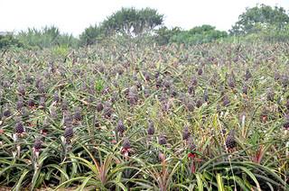 パインアップルの栽培が盛んな上原地区の畑。県農林水産振興センターが46億円超の事業費をかけてかんがい排水施設を整備する。=資料:2014年4月25日