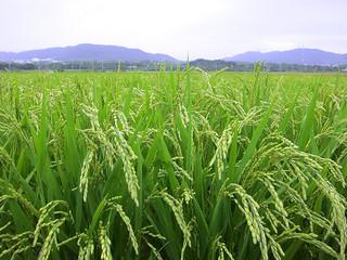 たわわに実った1期米。24日から収穫が始まる=21日午後5時、石垣市の平田原水田