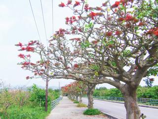 薬量を半分に減らしても3年連続で開花した竹富島のデイゴ=2014年3月20日