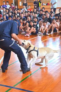 麻薬探知犬のボルト君が披露する訓練に見入る平真小学校の児童ら=29日午後、同校体育館