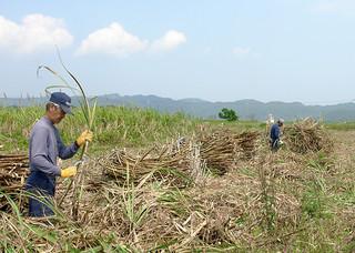 サトウキビの刈り取り手不足が深刻化している西表島=資料写真・2013年3月6日・西表大原