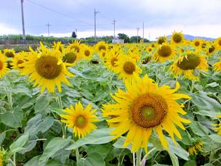 ヒマワリの黄色い花が咲き誇り、夏本番を告げている。梅雨明けも近い=3日午後、登野城の大浜長剛さんのほ場
