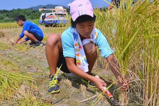 たわわに実った稲を次々に収穫する八島小の児童ら=4日午前、石垣市平得地底