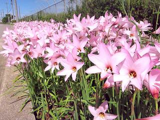雨の後に一斉にピンク色の花を咲かせるゼフィランサス。