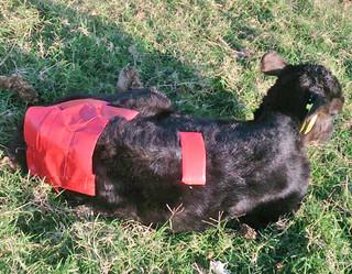 黒島でカラスにつつかれてケガを負い、手当てを受けた子牛=提供・町農林水産課