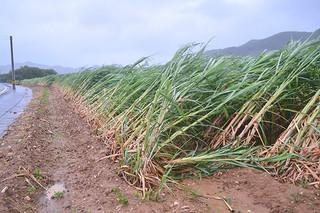 台風8号による強風でなぎ倒されたサトウキビ=8日午後3時半ごろ、石垣市登野城