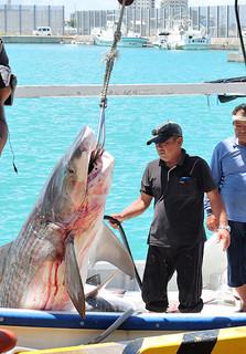 一本釣り漁場で駆除し、漁船から陸揚げされるサメ=18日午前、八重山漁協荷さばき場前