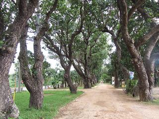 市文化財に追加指定される宮良浜川原のヤラブ並木(資料写真)