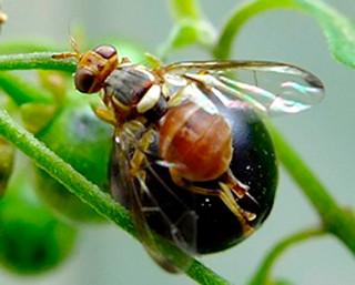 シマトウガラシに寄生するナスミバエの成虫(県農林水産部提供)