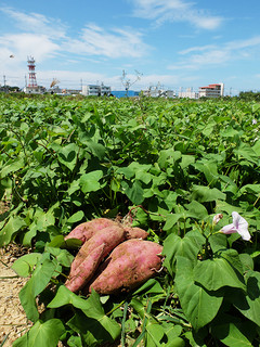 サトウキビ収穫後のほ場で栽培されている「沖夢紫」。10月までには収穫される=19日正午ごろ、シードー線水名橋北方のほ場