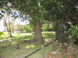 宮良浜川原ヤラブ並木に隣接する私有地内のヤラブ=7月17日午後(市教委文化財課提供)