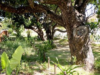 新たに追加指定された宮良浜川原のヤラブ(テリハボク)並木=7月17日(市教委文化財課提供)