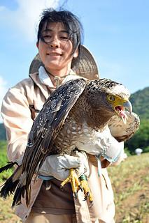 2度の交通事故から回復し、野生に帰るカンムリワシの「崎ちゃん」=4日午前、石垣市崎枝