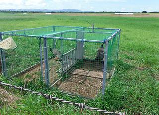 箱ワナなどの駆除が奏功し、生息数が半減しているインドクジャク(竹富町自然環境課提供)