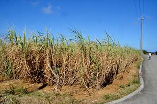 干ばつの影響で波照間島ではサトウキビの生産見込み量が大幅に減少している。=11月23日午後