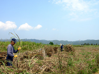 サトウキビ刈り取り作業員の確保が難航している=資料写真・2013年3月、西表大原