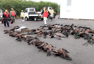 黒島で行われたインドクジャクの駆除作業(町自然環境課提供)