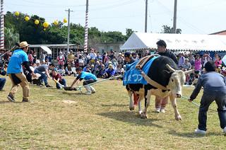 牛との綱引きなど多彩なイベントが繰り広げられた黒島牛まつり=22日午後、黒島多目的広場