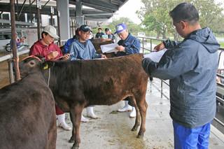 3月のセリに上場する雌子牛を審査する全国和牛登録協会などの関係者=3日午後、黒島家畜セリ市場