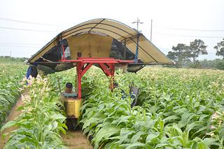本年度産の葉タバコの収穫作業が始まった=22日午後、石垣市大浜