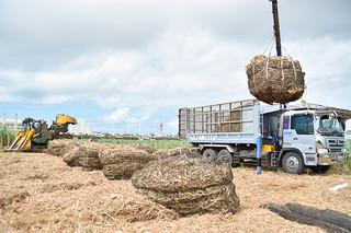 ハーベスターで刈り取ったサトウキビをトラックに積み込む農家。雨で刈り取りに遅れも出ている=石垣市大川のほ場