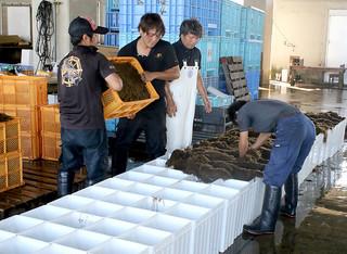 収穫した養殖モズクを容器に詰める漁協の職員ら=8日午後、八重山漁協