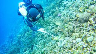 オニヒトデを駆除するダイバー(八重山ダイビング協会提供)=2014年1月18日、名蔵湾