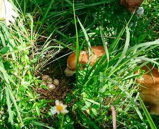 インドクジャクの卵(中央)を発見する探査犬=(竹富町自然環境課提供)