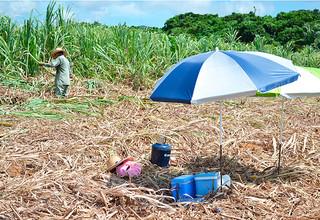 畑の真ん中に日よけのパラソルを設置しサトウキビの刈り取り作業を行う農家=14日午前、西表大原