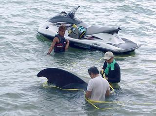 水上バイクでクジラを沖へえい航しようと試みる関係者ら=23日ビーチホテルサンシャイン東側の浜(石垣海上保安部提供)