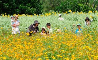 コスモス(手前)とヒマワリの花摘みを楽しむ人たち=28日午前、国際農林水産業研究センター熱帯・島嶼研究拠点