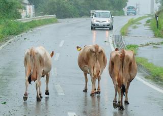 牧場を出て県道を歩いていた乳牛=10日午後2時ごろ、石垣島堆肥センター前の県道